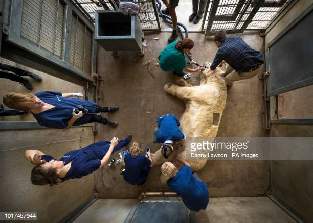 Victor, a 620 kg polar bear, is given an allergy test at the Yorkshire Wildlife Park near Doncaster after he and a smaller bear, Nobby, began...