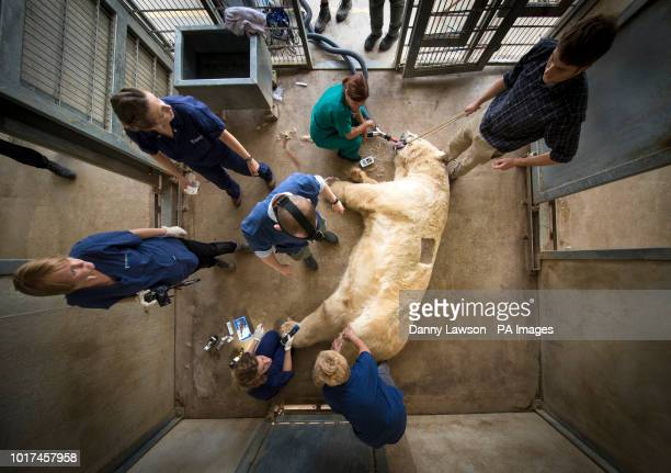 Victor a 620 kg polar bear is given an allergy test at the Yorkshire Wildlife Park near Doncaster after he and a smaller bear Nobby began suffering...