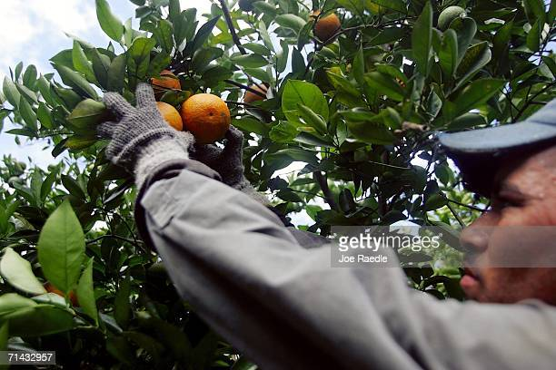 Victor Hernandez who is in the US on an H2A guest worker visa picks oranges for Sorrells Brothers Packing Co Inc July 13 2006 in Arcadia Florida For...