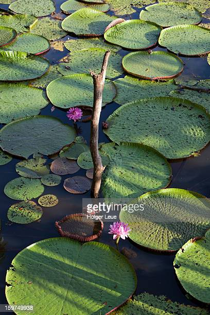 victoria amazonica giant water lilies on amazon - manaus stock pictures, royalty-free photos & images