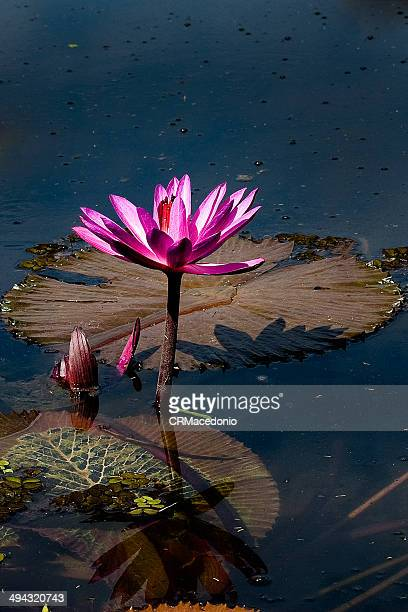 victoria amazonica - crmacedonio stock pictures, royalty-free photos & images