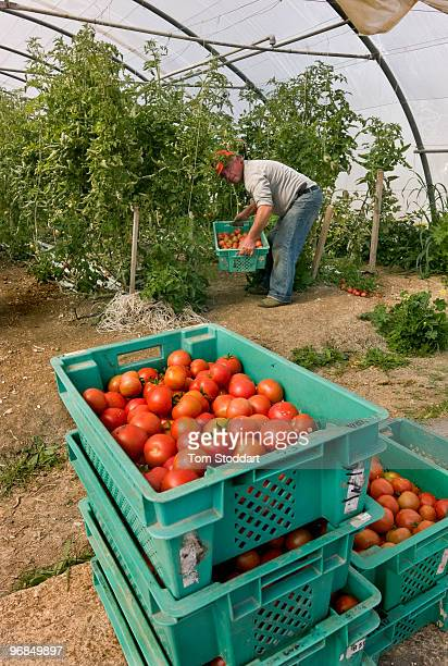 Victor Tabone pictured at his greenhouses in Victoria Gozo where he grows tomatoÕs aubergines pepperÕs basil and strawberries for the domestic market...