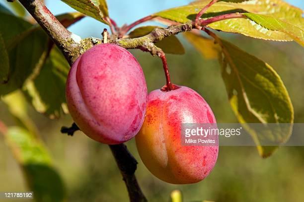 Victoria Plums (Prunus domestica) 'Victoria'