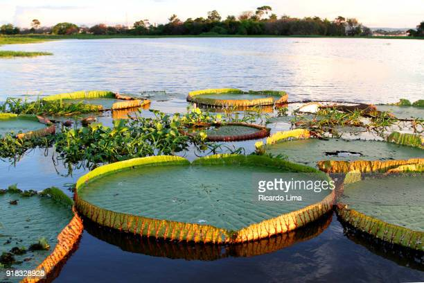 victoria regia lake in tapajos river - lima animal stock pictures, royalty-free photos & images