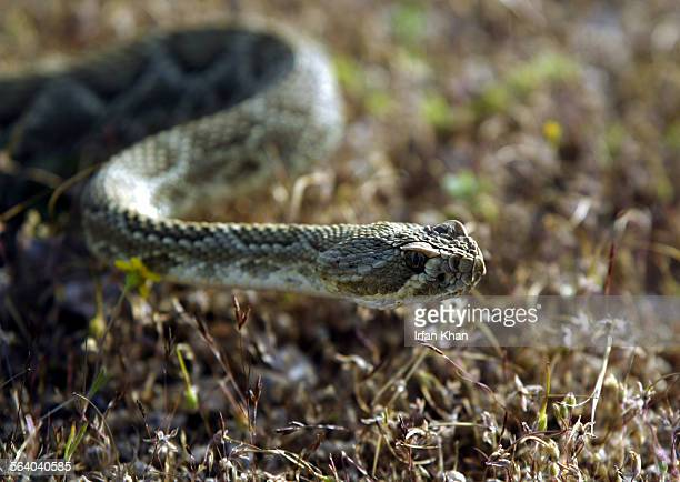 Victorville April 13 2004 – – – – A Mojave Green rattlesnake with a transmitter implanted moves through shrubs in a remote location in Victorville...