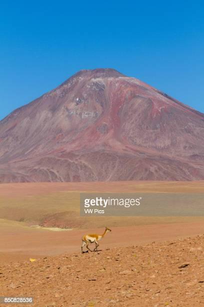 Vicu_as in Andean landscape, dotted with volcanos. Location: Between San Pedro de Atacama and El Tatio geysir field, in the Atacama desert, north...