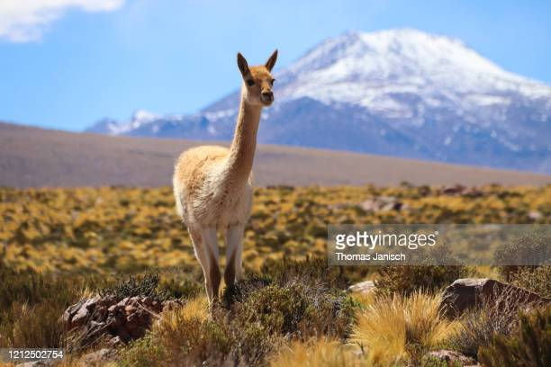 vicuña in the altiplano landscape - chile stock pictures, royalty-free photos & images