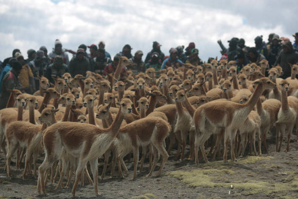 BOL: Herding, Capturing and Shearing Of The Vicuña In Bolivia