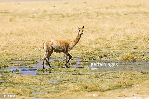 vicugna (vicugna vicugna), los flamencos nacional reserve, atacama desert, antofagasta region, chile, south america - vista lateral stock pictures, royalty-free photos & images