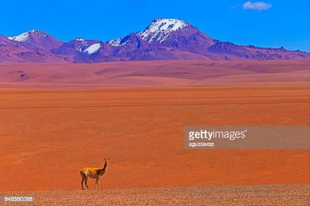 guanaco vicuña, fauna silvestre en el altiplano de los andes y desierto de atacama idílico, panorama del paisaje volcánico – región de antofagasta, en la frontera de la cordillera de los andes, chile, bolivia y argentina - paisajes de peru fotografías e imágenes de stock