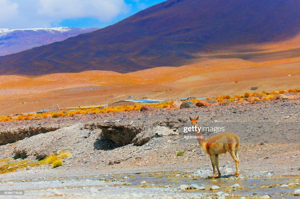 ビキューナ グアナコ、ボリビアのアンデスのアルティプラーノと牧歌的なアタカマ砂漠の野生動物 : ストックフォト
