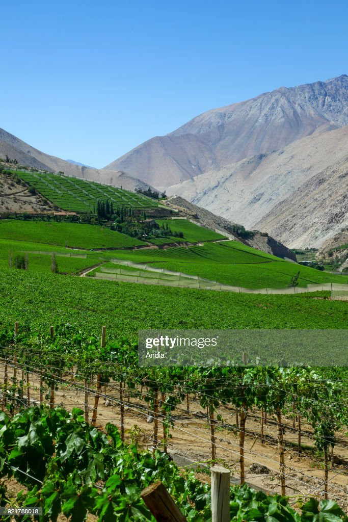vines in the Elqui Valley, big region producing wine from Chile and Pisco.