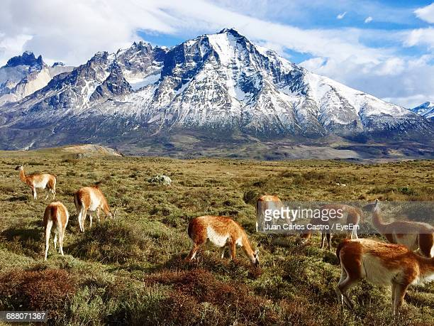 Vicunas Grazing On Field Against Mountains