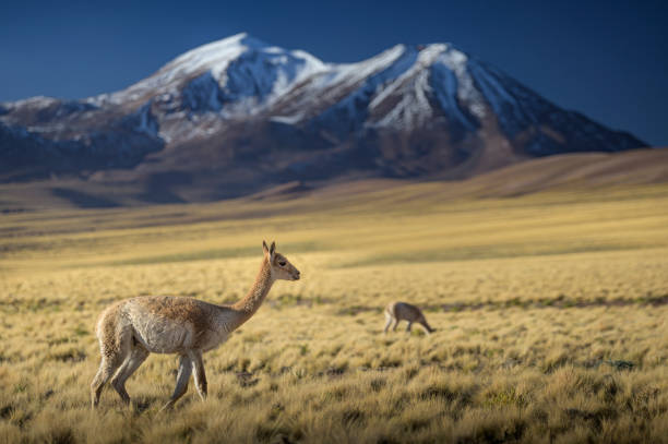 Vicunas grazing on pasture with twin snowcapped mountains on horizon