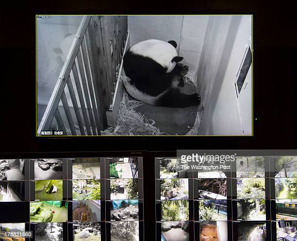 A video monitor shows Mei Xiang giant female panda cradling her newborn cub top center monitor at the National Zoo on August 30 2013 in Washington DC...
