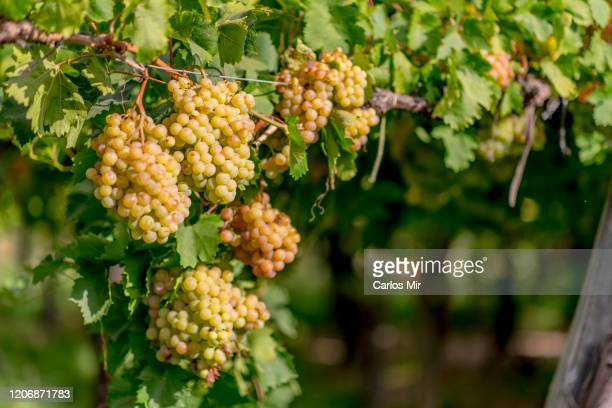 viñedos en la patagonia plantacion de uva para vino en bodega artesanal - uvas cabernet sauvignon - fotografias e filmes do acervo