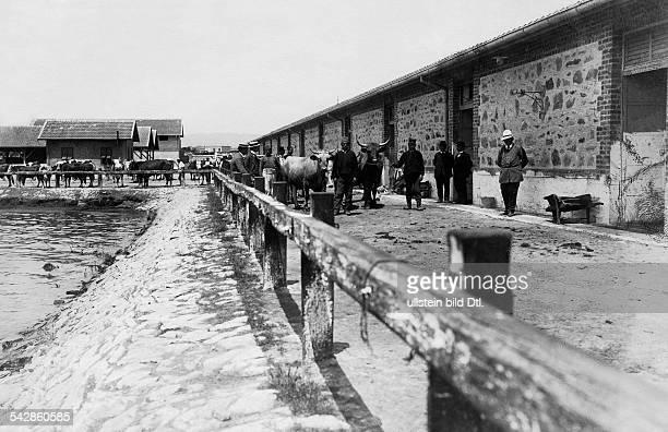 Vieh für den Export in den serbischenStallungen am Hafen- um 1910