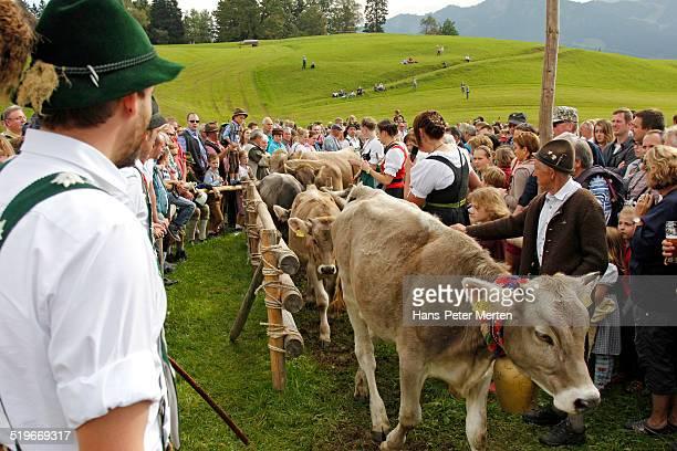 Viehscheid in Obermaiselstein, Allgäu, Bavaria