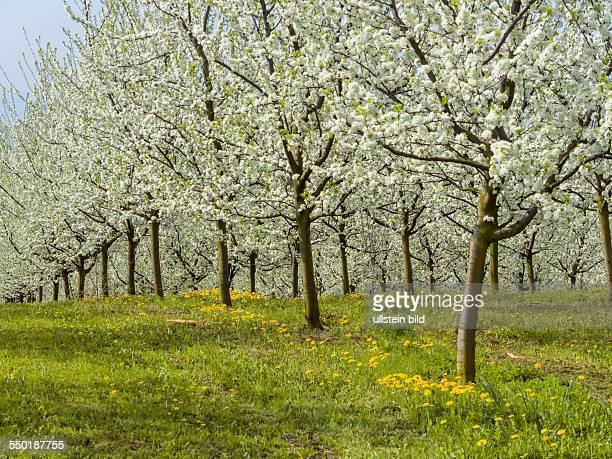 Viele blühende Obstbäume im Frühling Baumblühte im Frühjahr ist eine schöne Jahreszeit