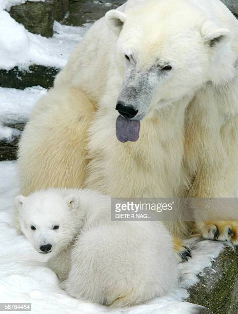 Baby polar bear Christina is pictured with her mother Olinka in the Schoenbrunn Zoo in Vienna 11 March 2005 Amid concerns that global warming is...