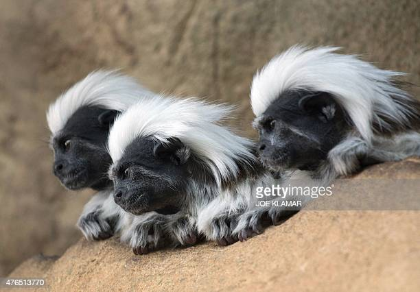 Three cotton-top tamarins, small New World monkeys, rest in a rain forest section of the Haus Des Meeres building in Vienna, Austria on June 9, 2015....