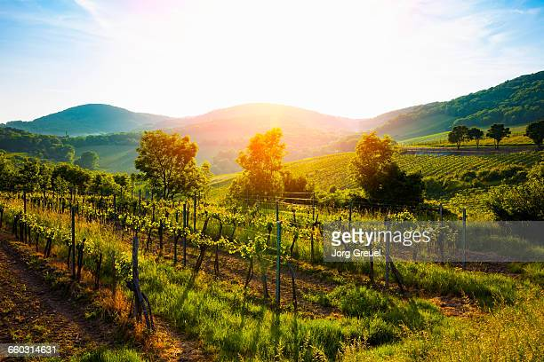 vienna vineyards - vienna austria stock pictures, royalty-free photos & images