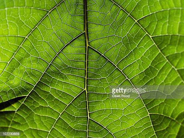 viens in a tropical leaf from thailand - intricacy stock pictures, royalty-free photos & images