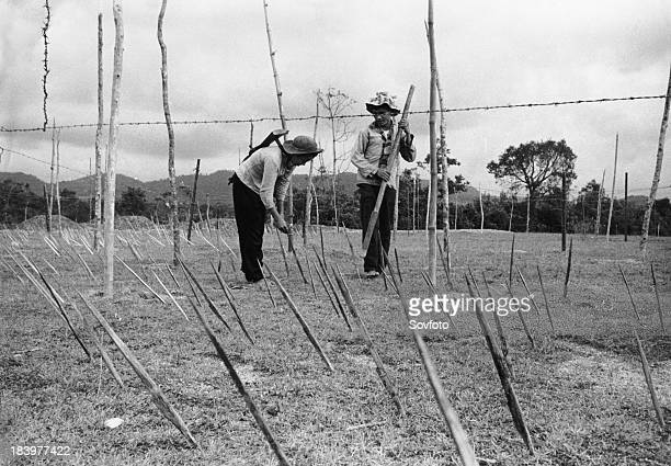 Viet Cong guerrillas in the liberated part of South Vietnam preparing a spiked bamboo trap ouside a 'strategic hamlet' The spikes prevent US military...