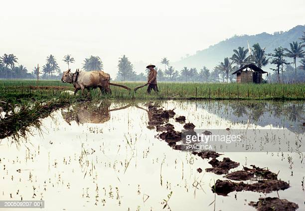 Vietnam, farmer plowing rice paddy with water buffalo