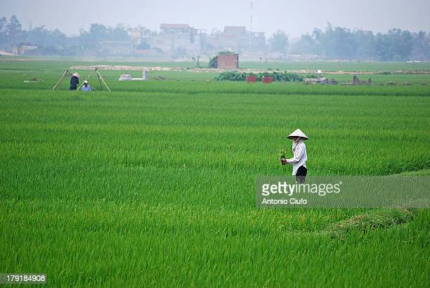Vietnam is one of the largest producers of rice in the world. The major buyers of Vietnamese rice are in Asia and Africa, numbering respectively...