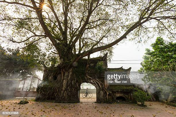 vietnam - woman and bicycle going through a ancient village gate with banyan tree - banyan tree stock photos and pictures