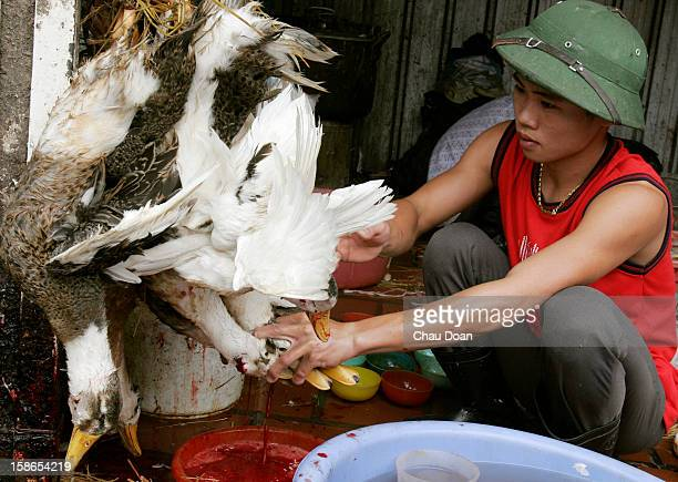 Vietnamese boy slaughters ducks in Long Bien poultry market in Hanoi The business of selling poultry in Vietnam has not changed much since the bird...