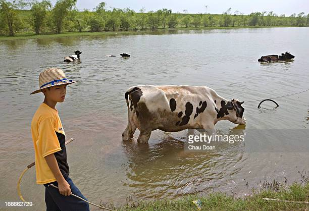 Vietnamese boy with his family milk cows