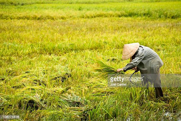 Man harvests rice in the Mekong Delta
