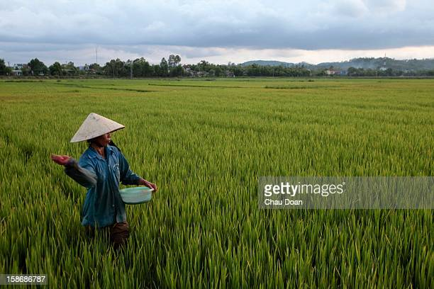 Vietnamese farmer Vo Thi Cham throws fertilizer in her family rice farm in Thuy Phuong village Huong Thuy commune Hue With 720 square metters of farm...