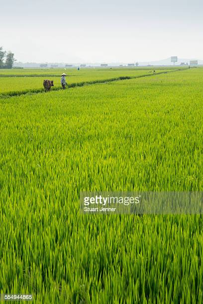 Vietnamese farmer worker in a rice paddy field. Hoi An, Quang Nam Province, Vietnam.