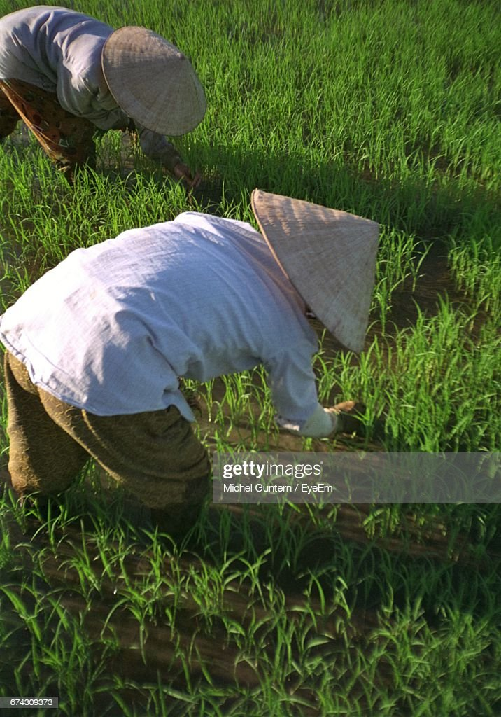 Vietnamese Farmers Working At Rice Paddy : ストックフォト