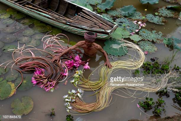 Vietnamese Man collecting lotus flowers in ponds.