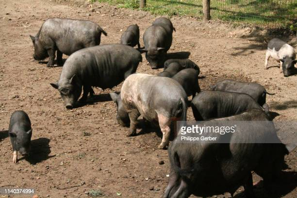 vietnamese pot-bellied pig - sarthe stock pictures, royalty-free photos & images