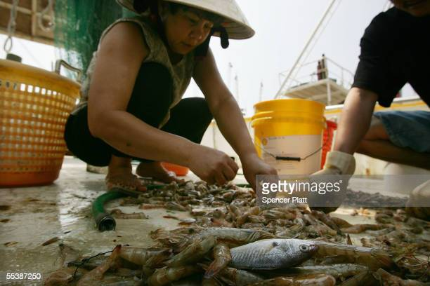 Vietnamese woman employed in the shrimp fishing trade picks through shrimp that will not likely go to market September 12 2005 in Biloxi Mississippi...