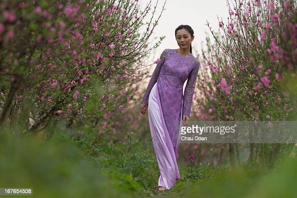 Vietnamese woman Hoang Thu Huong wearing Vietnamese traditional dress called Ao Dai walking on the peach flower tree field to choose the tree for Tet...
