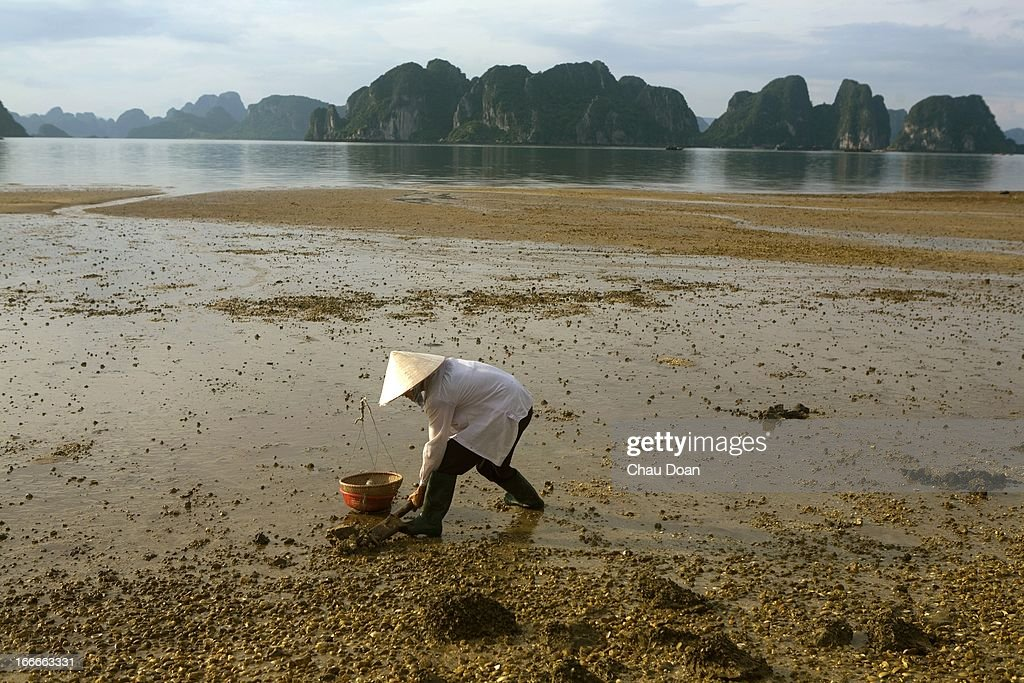 A Vietnamese Woman Is Digging Sea Worms On The Beach Of Bai