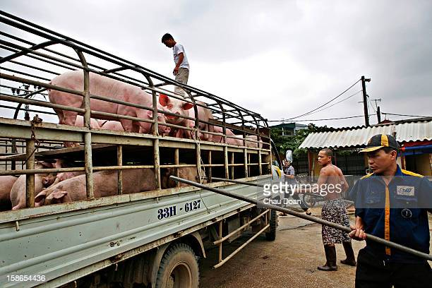 Vietnamese workers push pigs down a truck at a slaughterhouse in Ha Dong near Hanoi The avian flu scare has led to an increase consumption of pork in...