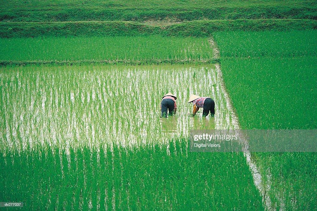 Vietnamese working women in rice paddy : Stock Photo