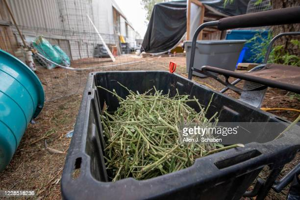 A view a bin of marijuana stems at the property where seven people were shot to death over Labor Day weekend at an illegal marijuana grow house in...