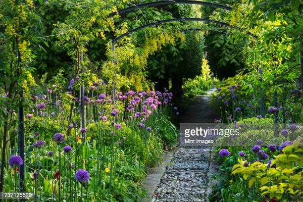 View along a path in a garden with purple Allium planted either side and trees in the background.