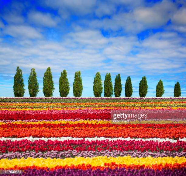 view field of t colourful tulips. - mixed farming stock pictures, royalty-free photos & images