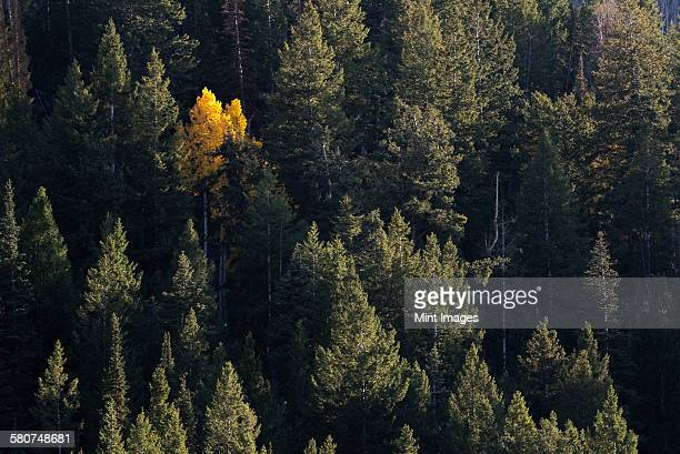 View from above of an aspen tree in bright autumn foliage, among dark pine trees.