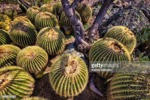 view from above of golden barrel (echinocactus grusonii), boyce thompson arboretum state park, arizona, usa - weinstein stock pictures, royalty-free photos & images