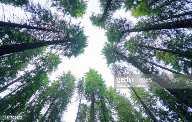 view from below into treetops of beech in the parang mountains, carpathian mountain peak, romania, europe. - romania foto e immagini stock